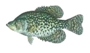 picture of black crappie