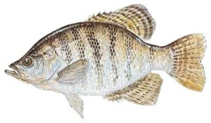 picture of white crappie
